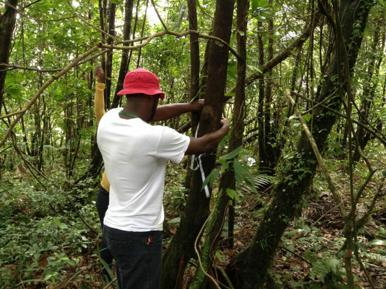 Participant collecting data on diameter at breast height on trees located in the Grand Etang Forest Reserve, credit Danielle Ince